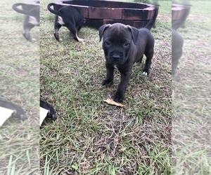 American Pit Bull Terrier Puppy for sale in CALLAWAY, FL, USA