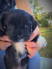 Shih-Poo Puppy For Sale in QUINLAN, TX, USA