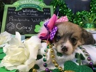 Pembroke Welsh Corgi Puppy For Sale in BEMIDJI, Minnesota,