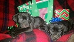 Cane Corso Puppy For Sale in INDIANAPOLIS, IN,