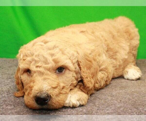 Medium Photo #2 Labradoodle Puppy For Sale in SHAWNEE, OK, USA
