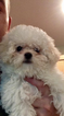 Poochon Puppy For Sale in DELMAR, NY, USA