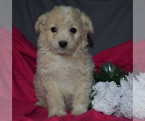 Pookimo Puppy for sale in GORDONVILLE, PA, USA
