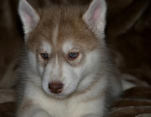 Siberian Husky Puppy For Sale in MORGANTOWN, WV