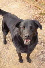 Julio - Labrador Retriever Dog For Adoption