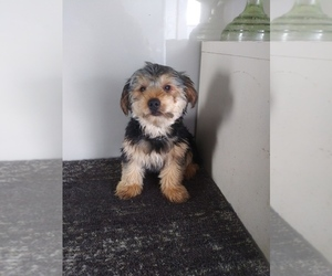 Unknown-Yorkshire Terrier Mix Puppy for sale in SHIPSHEWANA, IN, USA