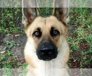 Mother of the German Shepherd Dog puppies born on 11/09/2020