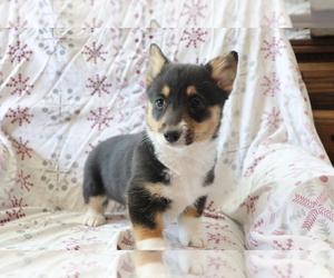 Pembroke Welsh Corgi Puppy for sale in SHILOH, OH, USA