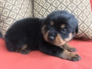 Rottweiler Puppy For Sale in RICHMOND, TX