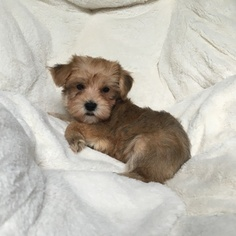 Morkie Puppy For Sale in HOUSTON, TX