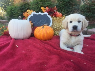 Golden Retriever Puppy For Sale in OWASSO, OK, USA
