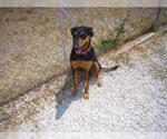 Small Photo #12 Doberman Pinscher Puppy For Sale in Devine, TX, USA