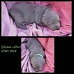 Labrador Retriever Puppy For Sale in BELTON, SC, USA