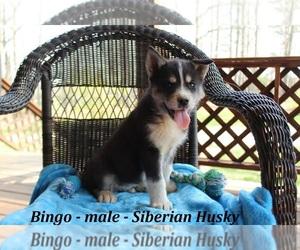 Siberian Husky Puppy for sale in CLARKRANGE, TN, USA