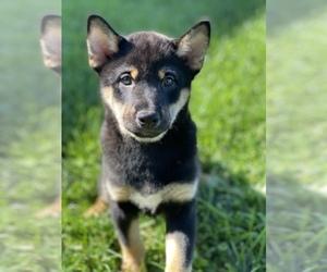 Shiba Inu Puppy for sale in SENECA FALLS, NY, USA