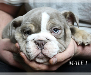 English Bulldog Puppy for sale in WEST PLAINS, MO, USA