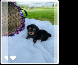 Aussie-Poo Puppy for Sale in CASSVILLE, Missouri USA