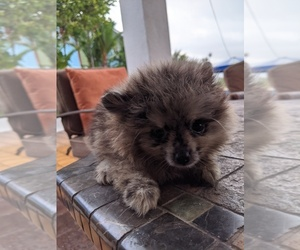 Pomeranian Puppy for sale in KAILUA, HI, USA