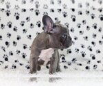 Small Photo #2 French Bulldog Puppy For Sale in RIVERSIDE, CT, USA