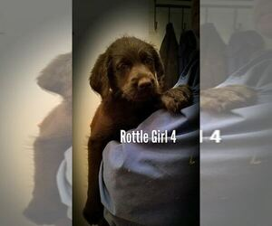 Rottle Puppy for Sale in TULSA, Oklahoma USA