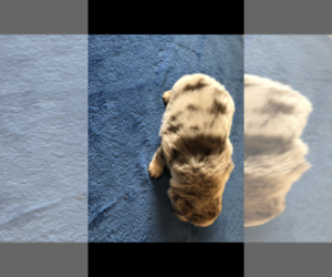 Australian Shepherd Puppy for sale in RUTLEDGE, TN, USA