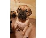 Puppy 5 Boerboel