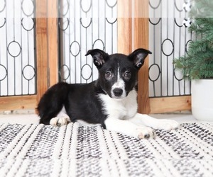 Border Collie Puppy for sale in NAPLES, FL, USA