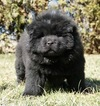 Small #4 Chow Chow