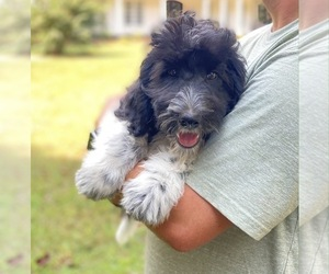 Goldendoodle Puppy for Sale in ROCKY MOUNT, North Carolina USA