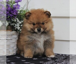 Pomeranian Puppy for sale in EAST EARL, PA, USA