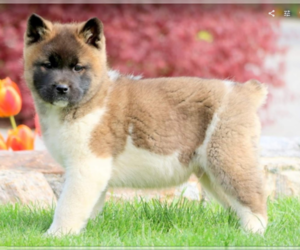 Akita Puppy for sale in HUNTINGTON, CT, USA