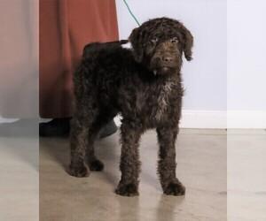 Labradoodle-Poodle (Standard) Mix Dog for Adoption in FREDERICKSBG, Ohio USA