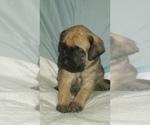 Small #38 Mastiff