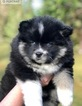 Pomsky Puppy For Sale in GRASS VALLEY, CA, USA