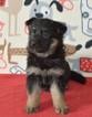 German Shepherd Dog Puppy For Sale in DEERFIELD, OH, USA