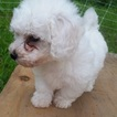 Bichon Frise Puppy For Sale in PELHAM, NH, USA
