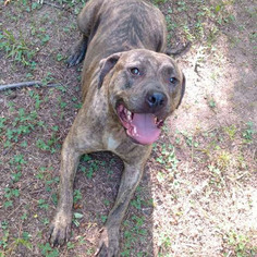 American Staffordshire Terrier Dog For Adoption in WILSONS, VA, USA