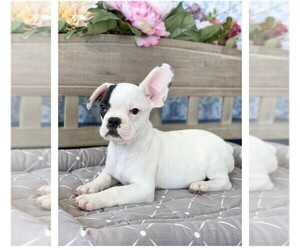 French Bulldog Puppy for sale in BEDFORD, VA, USA