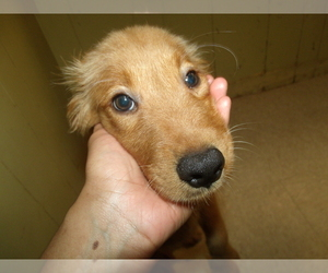 Golden Retriever Puppy for sale in PATERSON, NJ, USA