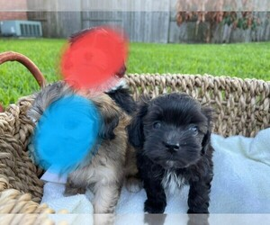 Maltipoo Puppy for sale in HOUSTON, TX, USA