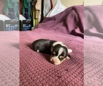 Puppy 0 Pembroke Welsh Corgi
