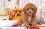 Murphy Charming Red Male Poodle Puppy