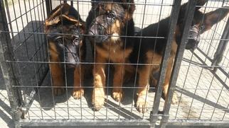 German Shepherd Dog Puppy for sale in NORCROSS, GA, USA