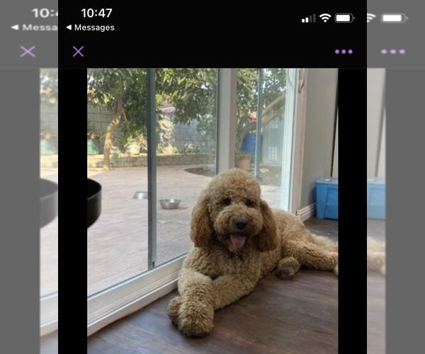 Medium Photo #1 Goldendoodle Puppy For Sale in COVINA, CA, USA