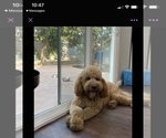 Small Photo #1 Goldendoodle Puppy For Sale in COVINA, CA, USA