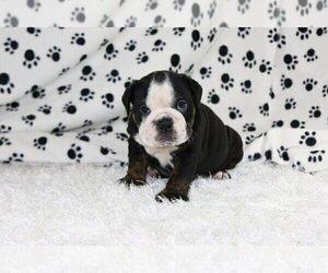 English Bulldog Puppy for sale in LONG BOAT KEY, FL, USA