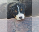 Small #12 Bernese Mountain Dog