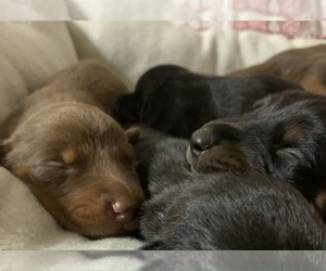 Doberman Pinscher Puppy for Sale in SHERWOOD, Tennessee USA