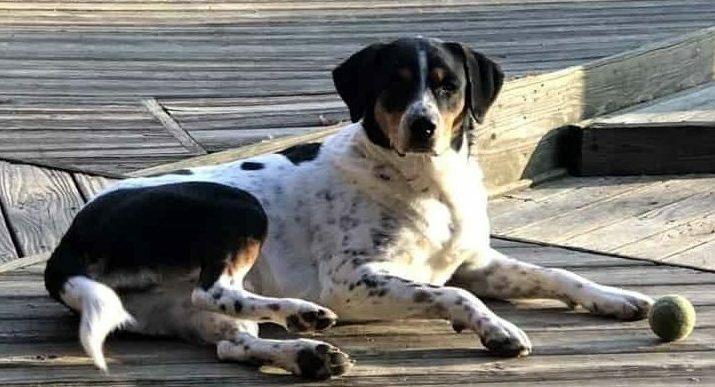 Australian Shepherd-Bernese Mountain Dog Mix dog