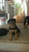 Small #2 Airedale Terrier